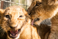 Portrait of two lion cubs. Portrait of two lion cub in lion park Taigan, Crimea, Russia stock photography