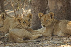 Portrait of two lion cubs. I was fortunate enough to have them looking at me both at the same time. Is that the glance of dangerous animals stock images
