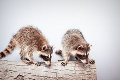 Portrait of two little playful racoon. S animal on a log stock photos