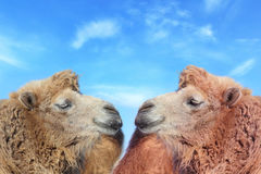 Two lovers camel face to face. Portrait of Two lovers camel face to face outdoors Stock Image