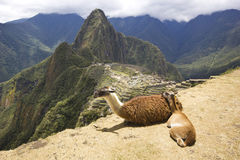 Portrait of two lying lamas in machu-picchu, peru Royalty Free Stock Photos