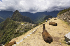 Portrait of two lying lamas in machu-picchu, peru Royalty Free Stock Photo