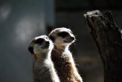 Portrait of two meerkats looking out for their family royalty free stock photo