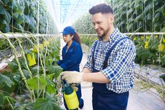Workers Treating Plants in Greenhouse. Portrait of two modern plantation workers spray treating plants while caring for vegetables in greenhouse of modern stock images