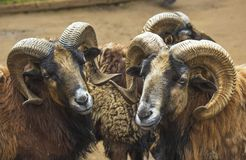 Two mountain rams males Stock Photos
