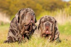 Portrait of two Neapolitan Mastiff outdoors Stock Photo