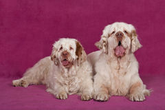 Portrait of two nice clumber spaniels. Portrait of nice clumber spaniels on pink background Stock Photos