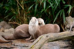 Two otters cuddling Royalty Free Stock Image