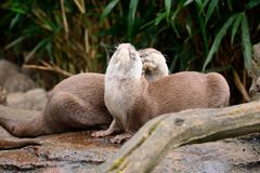 Two otters cuddling Royalty Free Stock Photo