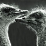 Portrait of two ostriches. Square black-and-white portrait of two ostriches Royalty Free Stock Images