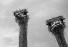 Portrait of two ostriches. Close-up portrait of african ostriches Royalty Free Stock Photos