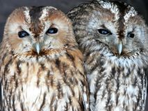 Portrait of two owls Royalty Free Stock Image
