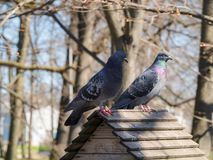 Portrait of two pigeons Stock Image