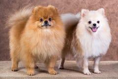 Portrait two Pomeranian dog Royalty Free Stock Image