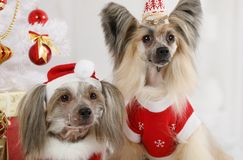 Portrait of two pretty Chinese Crested dogs Royalty Free Stock Photo