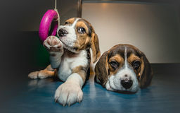 Portrait of two puppies Royalty Free Stock Image