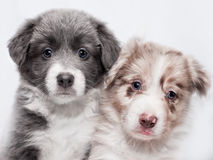 Portrait two puppies of breed border collie. Portrait of two puppies of breed border collie, blue and spotted of white background royalty free stock images