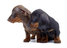 Portrait of two puppies of Dachshund Stock Images