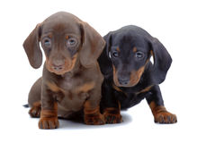 Portrait of two puppies of Dachshund Royalty Free Stock Image