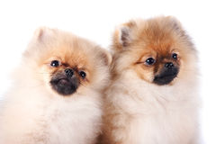 Portrait of two puppies of a spitz-dog Stock Images
