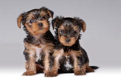 Portrait of two puppies of yorkshire terrier. On gray Royalty Free Stock Photo