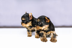 Portrait two puppies of the Yorkshire Terrier Royalty Free Stock Image