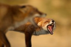 Portrait of two red foxes fighting each other stock photo