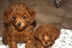Portrait of two red toy poodle puppies royalty free stock photography
