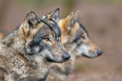 Portrait of two resting Grey Wolfs Stock Image