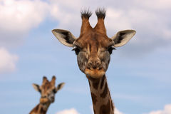Portrait of two Rothschild Giraffes. With their heads against a blue sky with some clouds Royalty Free Stock Photo