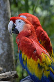 Portrait of Two Scarlet Macaws Royalty Free Stock Photo