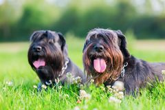 Portrait of two schnauzer dogs outdoors. Portrait of two black Standard Schnauzer dogs outdoors Royalty Free Stock Images