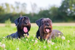 Portrait of two schnauzer dogs outdoors. Portrait of two black Standard Schnauzer dogs outdoors Royalty Free Stock Image