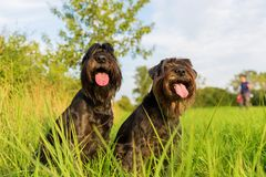 Portrait of two schnauzer dogs outdoors. Portrait of two black Standard Schnauzer dogs outdoors Stock Photography