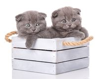 Portrait of two Scottish kittens. Royalty Free Stock Image
