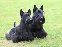 The portrait of two Scottish Terrier dogs Royalty Free Stock Photos