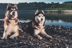 Portrait two Siberian Husky. Happy smiling husky dogs on the shore beautiful summer river. Soft warm evening light. Portrait two Siberian Husky. Happy smiling royalty free stock photos