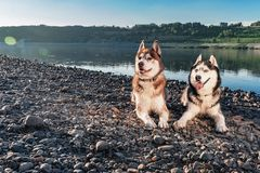 Portrait two Siberian Husky loves life. Happy smiling husky dogs on the shore beautiful summer river. Soft warm evening light. Portrait two Siberian Husky loves royalty free stock images