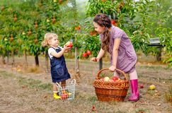 Portrait two siblings girls, little toddler and kid with red apples in organic orchard. Happy siblings, children. Beautiful sisters picking ripe fruits from royalty free stock photos