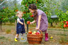Portrait two siblings girls, little toddler and kid with red apples in organic orchard. Happy siblings, children. Beautiful sisters picking ripe fruits from royalty free stock photo