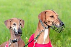 Portrait of two Sighthound Azawakh Stock Photo