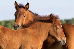 Portrait of two sorrel foal. Baby horses royalty free stock images