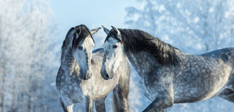 Portrait of two spanish grey stallions in winter forest on a blu. E sky background. Multicolored wintertime horizontal outdoors image Royalty Free Stock Photos