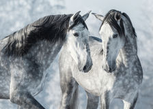 Portrait of two spanish grey stallions in winter forest. Monochromatic wintertime horizontal outdoors image Stock Photography