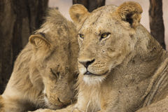 Portrait of two sub-adult male Lions. Portrait of two sub-adult male Lion (Panthera leo Royalty Free Stock Photos