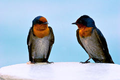 Portrait of two swallows