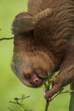 Portrait of Two-toed Sloth eating Royalty Free Stock Photography
