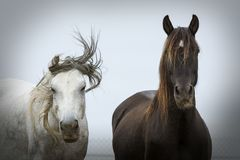 Portrait of two very different horses posing stock images