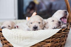 Portrait of two weeks old cute golden retriever puppy in the basket. stock images
