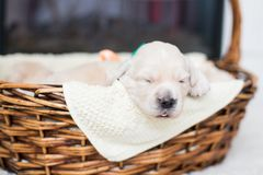 Portrait of two weeks old cute golden retriever puppy in the basket. Lovely Golden retriever bab is lying in the basket royalty free stock photo